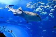Okinawa Churaumi Aquarium, 424 Ishikawa, Motobu, Okinawa