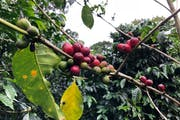 Boquete: Visit to a coffee plantation