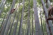 Arashiyama Bamboo Forest, Sagatenryūji Susukinobabachō, Ukyo Ward, Kyoto